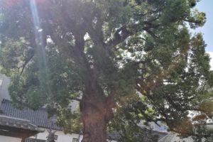 金陵の郷 御神木の楠