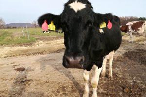 十勝放牧農場 石黒農場の牛